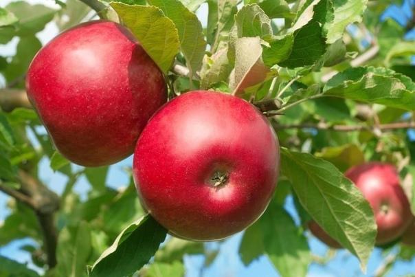 Совместимость плодовых деревьев. ЯБЛОНЯ уживается с грушей, вишней, сливой, айвой, яблоней. Плохо переносит соседство с черешней, калиной, смородиной золотистой, барбарисом, сиренью, чубушником.
