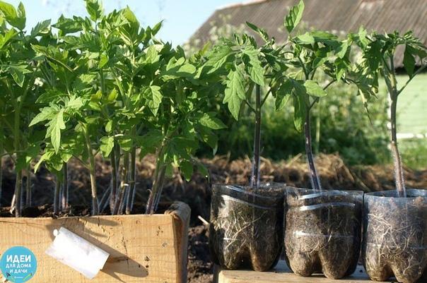 Рассаду помидоров поливают раствором йода для более быстрого роста (1 капля на три литра). После применения этого раствора рассада зацветёт быстрее, а плоды будут крупнее. Может йод защитить