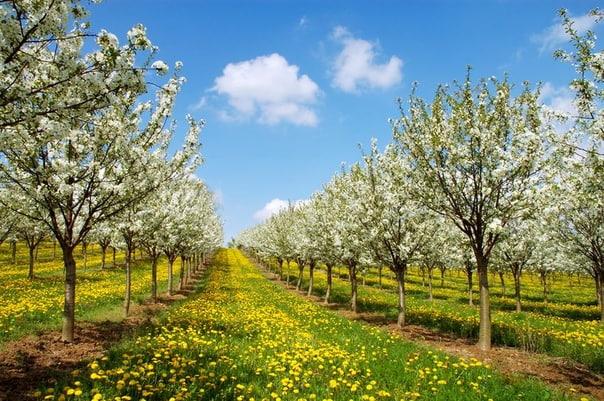 Выращивание вишни в средней полосе.