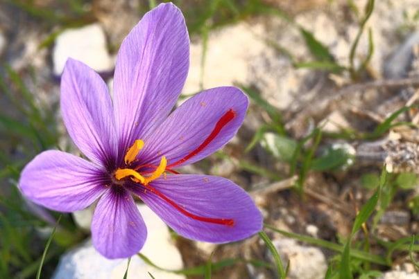 Выращивание и применение цветка шафрана.