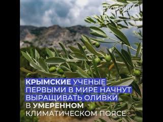Крымские ученые первыми в мире начнут выращивать оливки в умеренном климатическом поясе