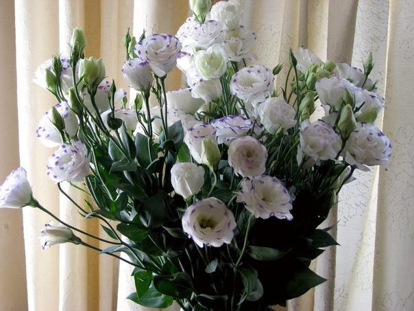 Посадка и уход за эустомой многолетней в саду. Техасский колокольчик, ирландская роза, лизантус Каких только названий не получил любимый садоводами и флористами цветок эустома многолетняя.