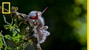 'Zombie' Parasite Takes Over Insects Through Mind Control National Geographic