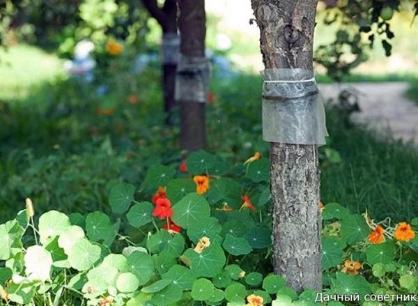ЛОВЧИЙ ПОЯС ДЛЯ ЗАЩИТЫ ДЕРЕВЬЕВ: ВИДЫ, ИЗГОТОВЛЕНИЕ Каждый огородник хочет получить богатый урожай, сохранив деревья здоровыми и красивыми. Часто мелкие насекомые мешают этому ослабшие деревья