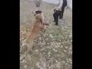 Собачий бой кашкар_low1.mp4