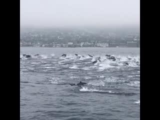 Стая дельфинов, очень красиво