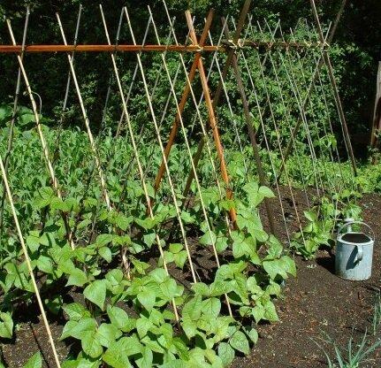 Секреты выращивания фасоли на огороде, с помощью которых можно получить хороший урожай.