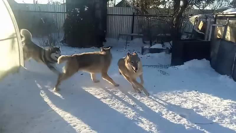 маламут против волчиц
