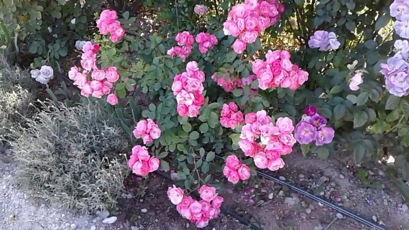 Подкормка роз часть 1 питомник роз Полины Козловой