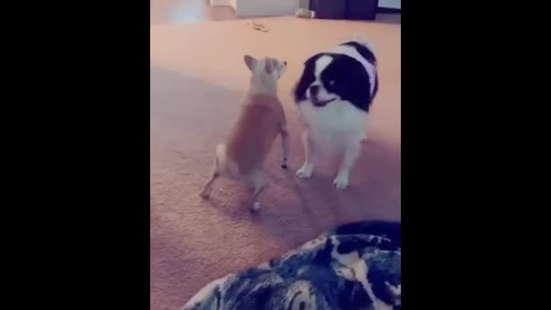 Похотливый пёс намекает собаке о своих чувствах