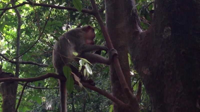 Кормление обезьян в индийских джунглях