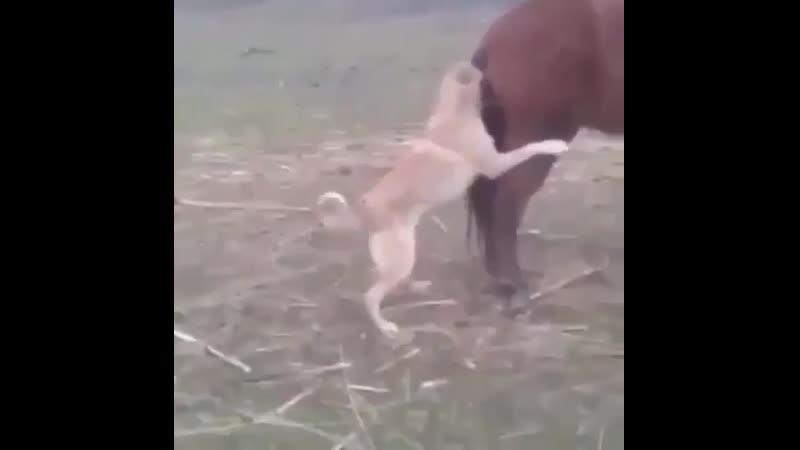Собака попыталась трахнуть Лошадь