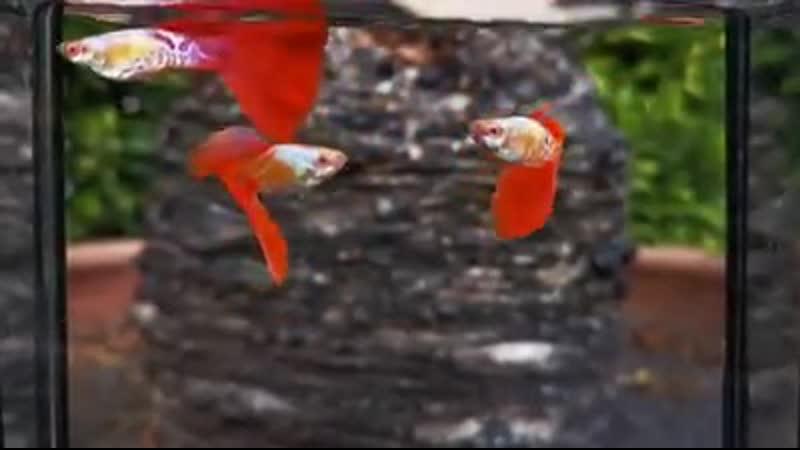 гуппи аквариум рыбки 8765💯💯 🌌 Abino Galaxy Red Tail 🌌 💯💯 Punya Guppy Farm
