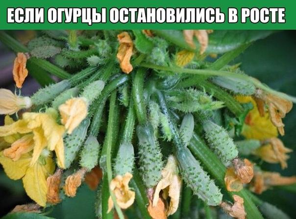 Огурцы остановились в росте нужна полезная витаминная подкормка.