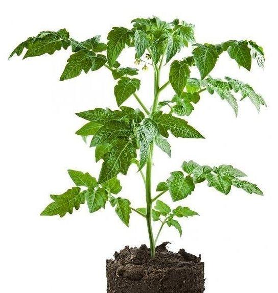 Посев семян томатов, благоприятные дни: