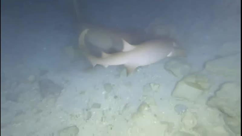 Акулы няньки Остров Гурайдо Мальдивы 2021