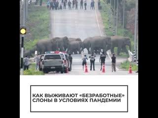 """Как выживают """"безработные"""" слоны в условиях пандемии"""