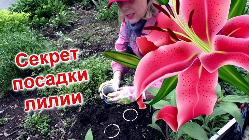 Сеянцы лилии сажаю особым способом, пригодным для любых цветов гладиолусы, черешня - долой сорняки!