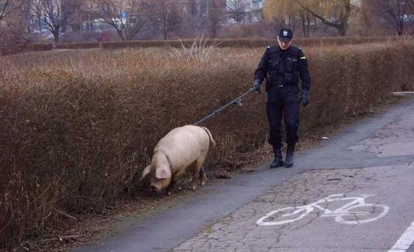 В МВД решили научить свиней искать наркотики. В МВД России решили повторить эксперимент с привлечением свиней к поиску наркотиков, который успешно проводится полицейскими в США. Об этом сообщил