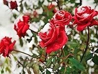 Как и чем правильно укрывать розы на зиму не даем замерзнуть «королеве цветов». Настоящая русская зима любимый сезон многих жителей нашей страны, чего не скажешь о розах. Эти нежные цветы часто