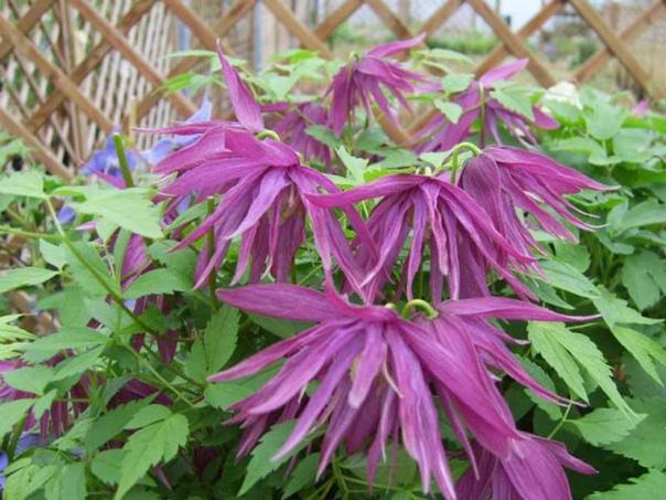 Красивые цветущие лианы княжики