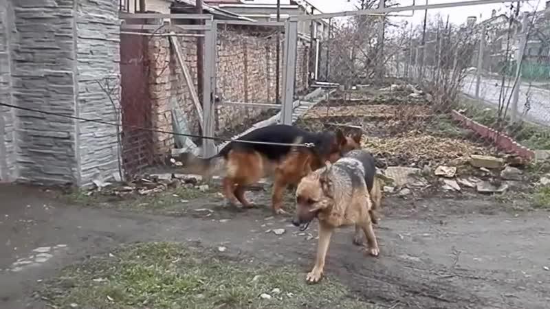 КАК происходит ВЯЗКА немецких овчарок. Dog mating. कुत्ता संभोग।التزاوج الكلاب. Одесса