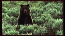 Ataques Mortais   Urso vs Lobo - Melhores Batalhas