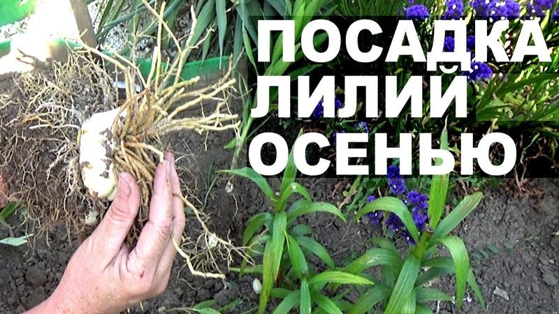 Размножение лилий осенью Как и когда делить лилии
