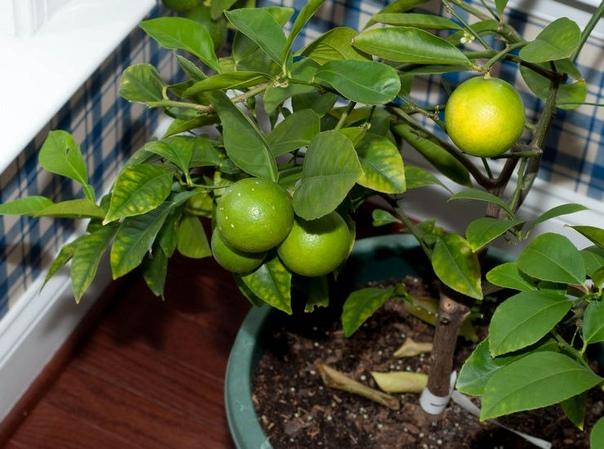 Удобрения для лимона Лимон в домашних условиях выглядит как маленькое деревце с плотными темно-зелеными листьями с блестящей поверхностью. Комнатный лимон цветет на протяжении длительного
